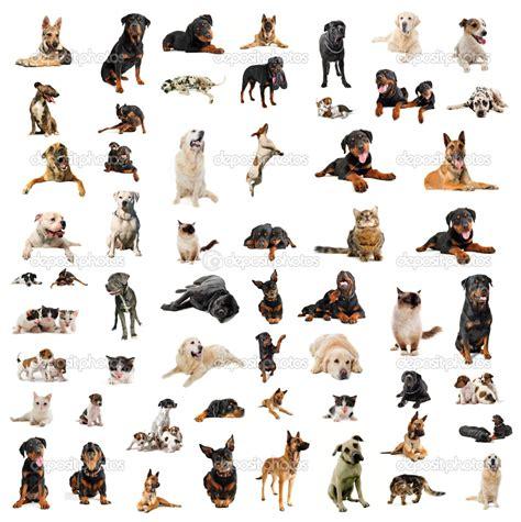 pics photos photos types of breeds of dogs dog breeds