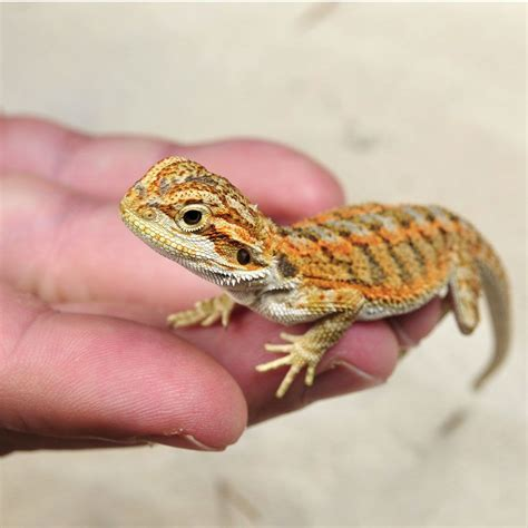 orange sales citrus bearded dragons for sale online baby citrus bearded