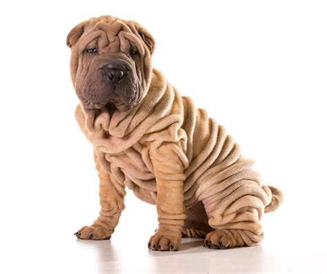 pictures of shar pei dogs shar pei dogs breed information omlet