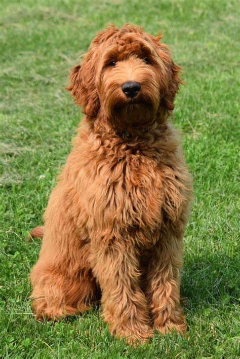 mini doodle alberta 25 best images about australian labradoodle puppies on