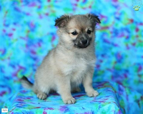 pomeranian mix for sale for sale ontario pomeranian husky mix puppies in michigan breeds picture