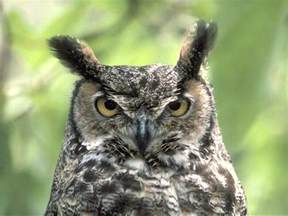 pictures of owls for owls images tuffed ear owl hd wallpaper and background