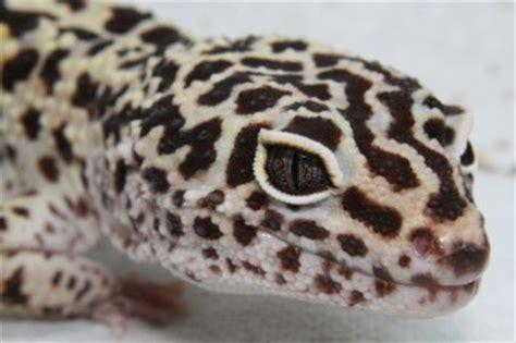leopard gecko heat l la fiche du gecko l 233 opard d habitude je ne met pas de