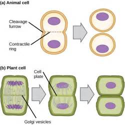 And cytokinesis in plant cells vs animal cells click to enlarge
