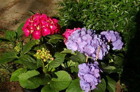 Was Machen Gegen Pilze Im Garten by Hortensie Bilder Aus Dem Eigenen Garten Blumen