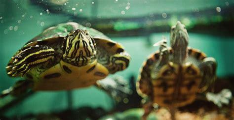 tartaruga d acqua alimentazione tartarughe d acqua