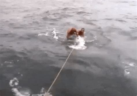 Gif Animals Science Sharks Biology Marine Biology Behavior - the moment two absolute idiots attempted to surf on a