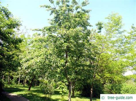 black and cherry tree black cherry prunus serotina