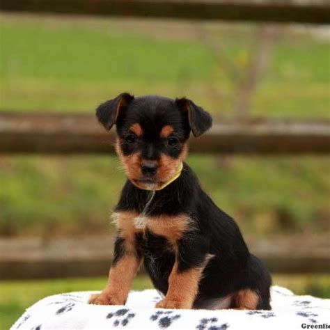 yorkie puppies delaware yorkie puppies for sale and breed information greenfield puppies