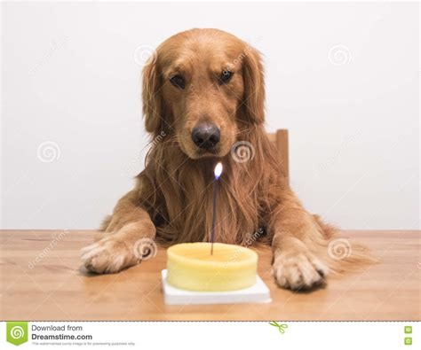 golden retriever birthday cake golden retriever and a birthday cake stock photo image of birthday hair 71020306