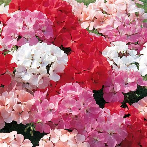 romantic flowers geranium flower