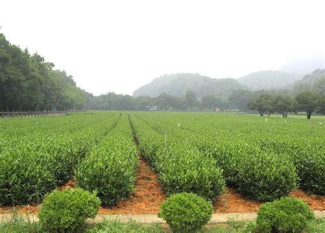 meijiawu tea village hangzhou hangzhou attraction