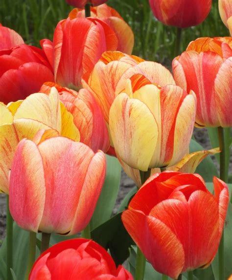 Mukena Bunga Tulip Green tulip gudoshnik darwin hybrids tulips flower bulb index