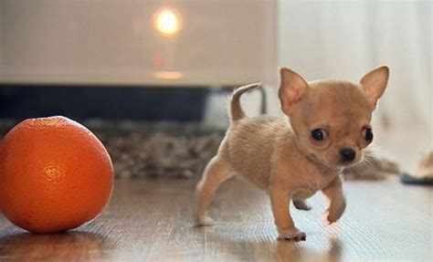 world s smallest puppy this 2 75 inches baby chihuahua maybe the world s smallest kannadiga world