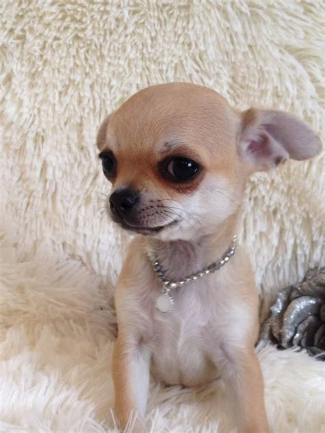 chihuahua puppies for free free puppies for adoption teacup chihuahuas for sale