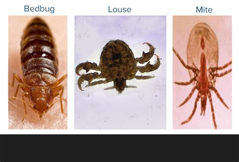 difference between fleas and bed bugs bed bugs facts learn more about our bed bug treatments or