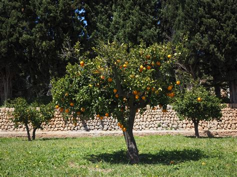 patio orange tree free images branch flower ripe bush orange tree log