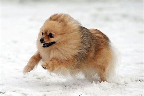 pomeranian large breed the forerunners of today s pomeranian breed were large working dogs in the arctic