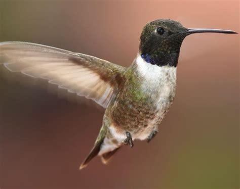 different types of hummingbirds hummingbirds plus
