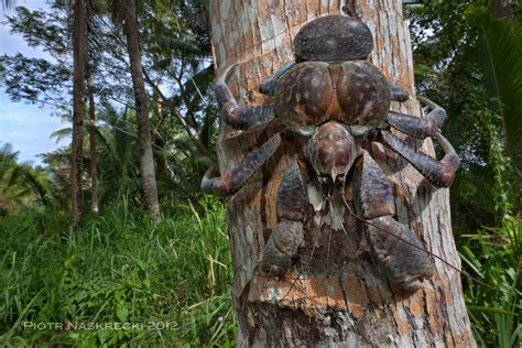 coconut crab a giant among the smaller majority the smaller majority