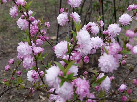 flowering almond gardening pinterest