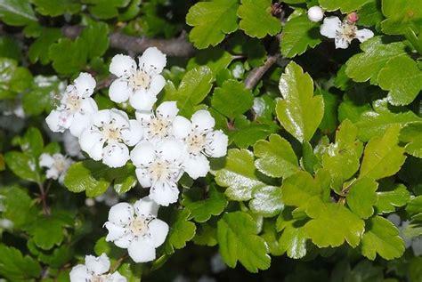 fiori biancospino biancospino crataegus laevigata crataegus laevigata