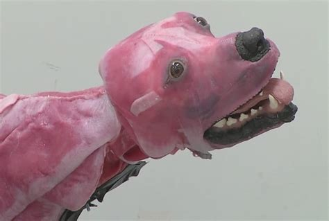 skinless dogs what this laboratory is doing to save dogs lives is af a skinless saver