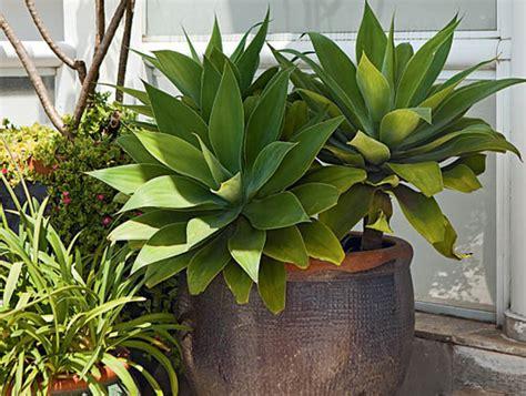agave vaso le 5 piante grasse da tenere in casa deabyday tv
