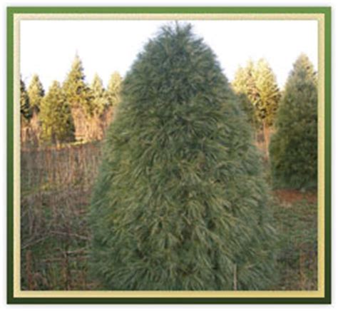 catchy collections of white pine christmas tree care