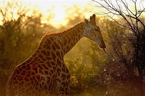 fight  stop giraffes silent extinction