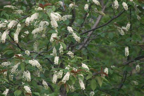 flowering shrubs ontario 1000 images about trees of the ontario boreal forest on