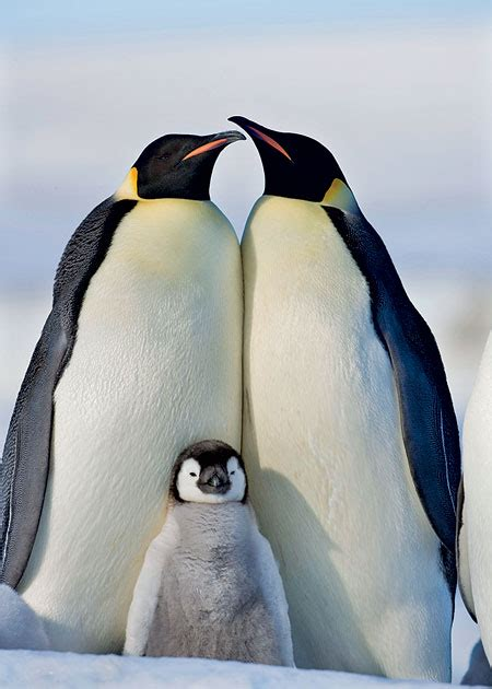 8 Facts On Penguins by Emperor Penguin Facts For