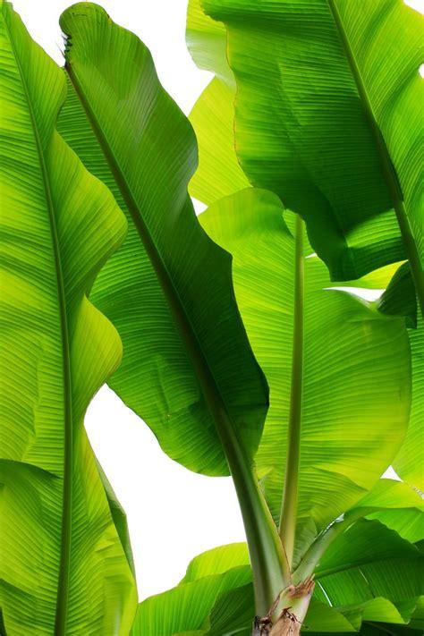 Kaos Banana World 12 Tx 17 best ideas about banana plants on fruit