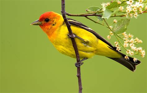 Backyard Yellow Birds Jim Brown Western Tanager The National Wildlife