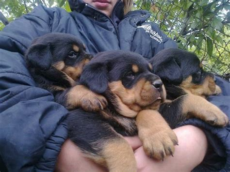 rottweiler puppies malaysia rottweiler puppies for homes for sale adoption from kuala lumpur adpost