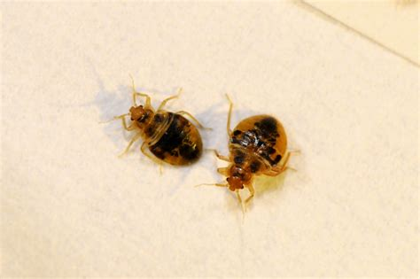 picture of a bed bug 5 steps to check your hotel for bed bugs