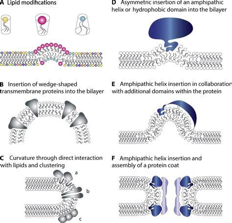membrane curvature  cell biology  integration