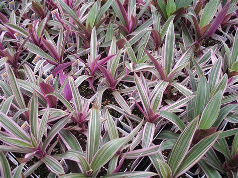 moses in the cradle dwarf 5 quot pot hello hello plants