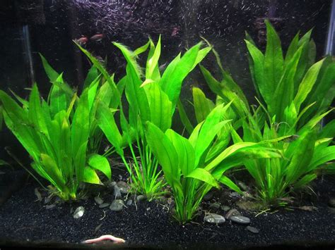amazon plants amazon sword plant caresheet aquatic mag