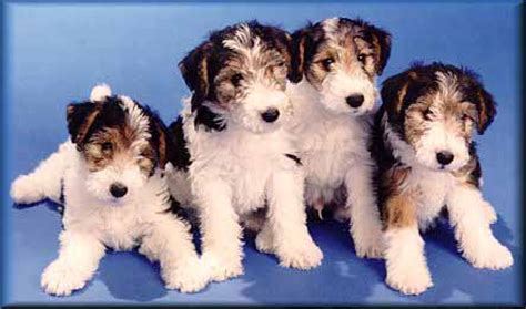 wire haired fox terrier puppies for sale wire fox terrier puppies for sale