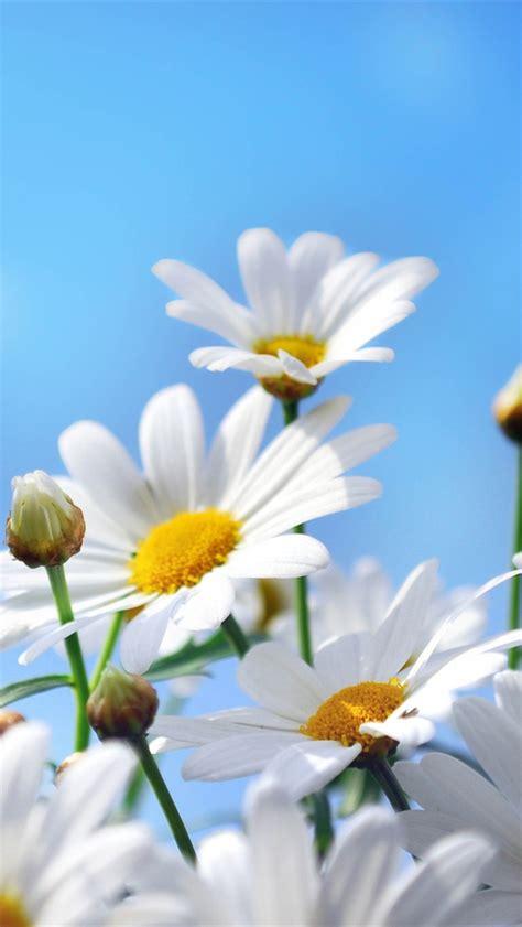 flores fotografia margaritas petalos cielo azul iphone