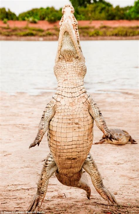 walking on hind legs 12 foot crocodile stands up as villagers feed it in west africa daily mail