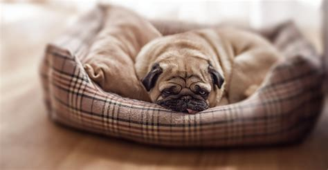 bed pugs exhausted pug in bed about pug