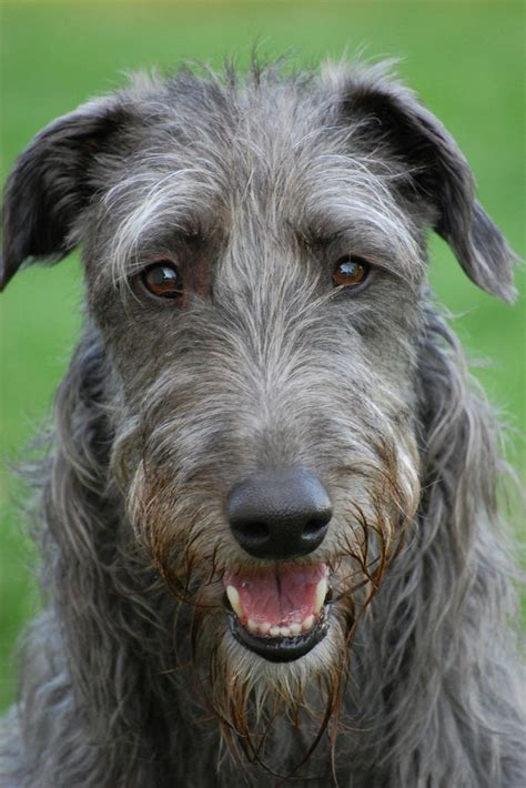 scottish deerhound puppies 1000 images about scottish deerhound on scottish deerhound