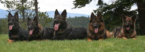 German Shepherd Also Search For Coated German Shepherds Candle Hill Shepherds