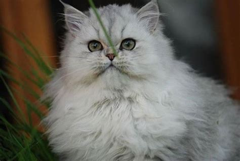 gatti persiani immagini gatto persiano bianco pelo lungo gatto persiano bianco