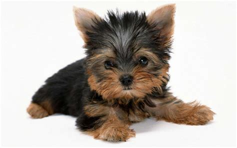 yorkie mutt terrier breed 187 information pictures more