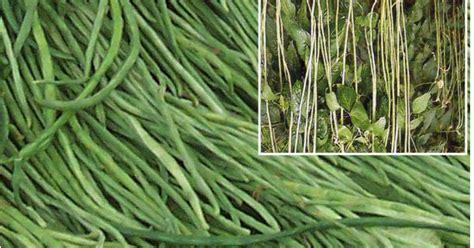 Benih Kacang Panjang Hibrida budidaya kacang panjang tanam sayuran
