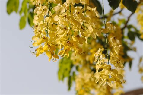 Golden Shower by Free Golden Shower Stock Photo Freeimages