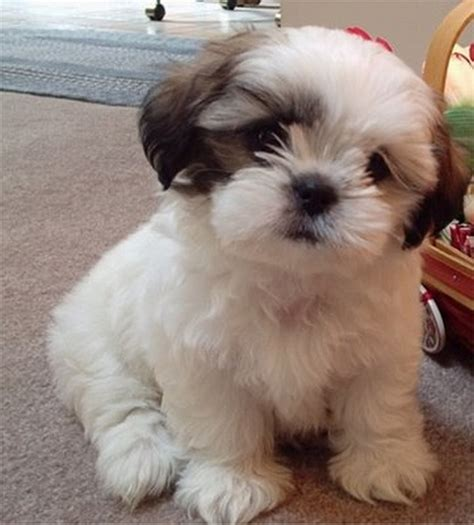 shih tzus puppies shih tzu the happens